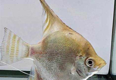 PTEROPHYLLUM RIO JAPURA lemon head 5,5-6 cm