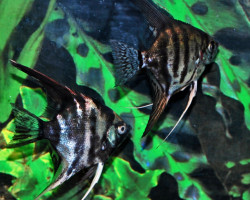 Pterophyllum Sc. Dark Mixed S