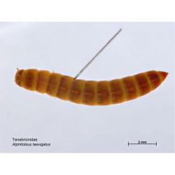 Alphitobius Laevigatus (Ltr)