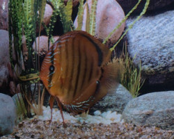 Discus Alenquer Stendker Jumbo